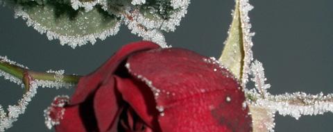 frozenrose.jpg
